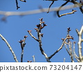 Spring is approaching and I'm worried about the winter buds of cherry blossoms 73204147