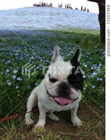 Nemophila and french bulldog 73207468
