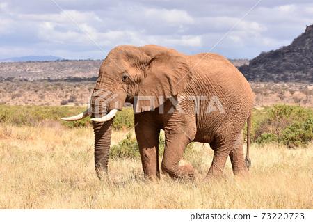 非洲大象(肯尼亞Samble自然保護區) 73220723