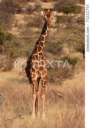 Amime Kirin(肯尼亞Samble自然保護區) 73222755