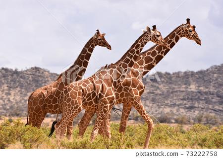 Amime Kirin(肯尼亞Samble自然保護區) 73222758
