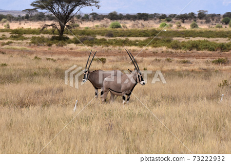 ORIX(肯尼亞Samble自然保護區) 73222932