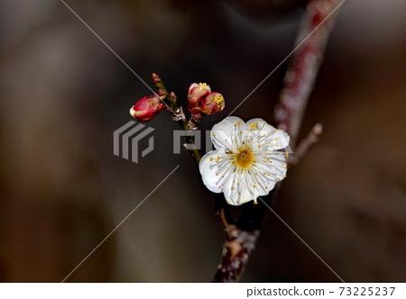 Plum blossom 73225237