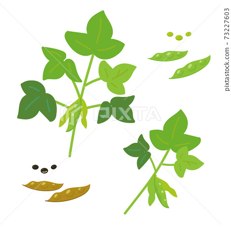 Green soybeans with branches Black beans 73227603
