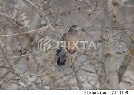 Kijibato棲息在銀杏樹上 73231096