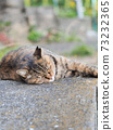 Kijitora stray cat lying on the ground 73232365
