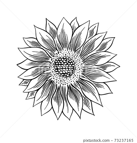 Sunflower seed and flower drawing set. Hand drawn isolated illustration. Food ingredient vintage sketch. 73237165