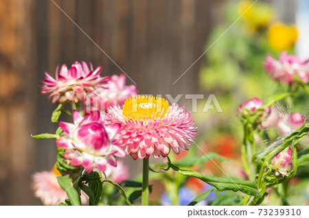 Xerochrysum bracteatum, Helichrysum, Astraceae, pink immortelle flowers on the background of a fence on a home, country flower bed 73239310
