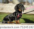 beautiful dachshund puppy sitting in the park on a sunny day 73245182