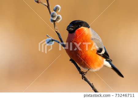 Male eurasian bullfinch sitting on flowering twig with catkins from a willow tree 73246711