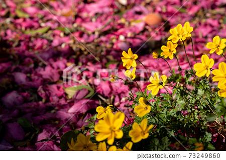 冬季美麗開花的山茶花林道 73249860