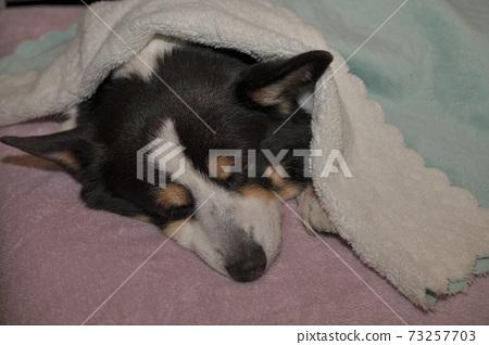 An indoor black corgi dog that sleeps soundly in the dark 73257703