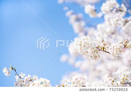 櫻花染井吉野春天的櫻花 73259928