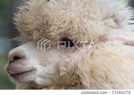 蓬鬆的羊駝 73260270
