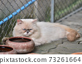 Persian cat lying in my home 73261664