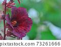 Jamaican Sorel blooming in garden 73261666