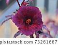 Jamaican sorel flower in garden 73261667