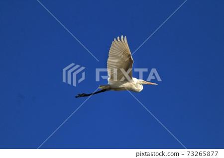 白鷺 野生鳥類 73265877