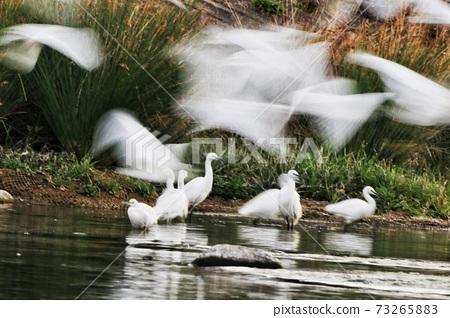 白鷺 野生鳥類 73265883