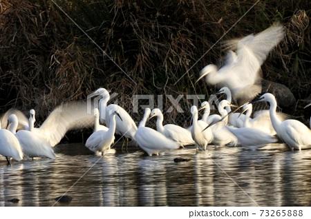 白鷺 野生鳥類 73265888