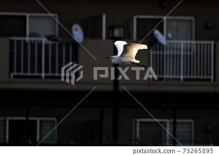 白鷺 野生鳥類 73265895