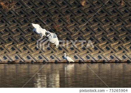 白鷺 野生鳥類 73265904