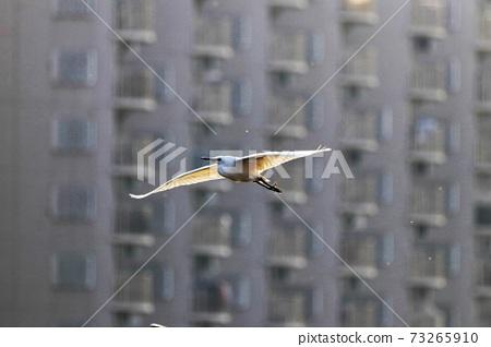 白鷺 野生鳥類 73265910