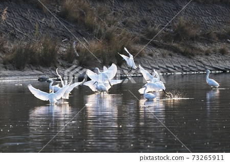 Egret wild birds 73265911