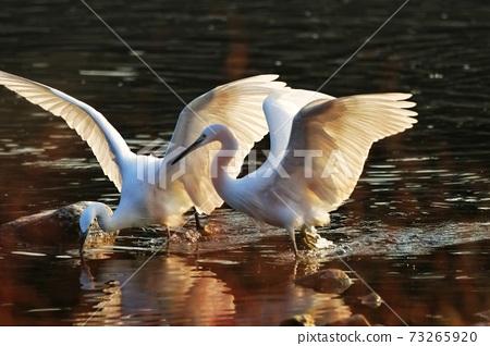 白鷺 野生鳥類 73265920