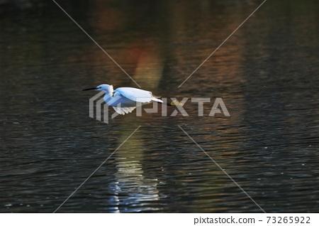 白鷺 野生鳥類 73265922
