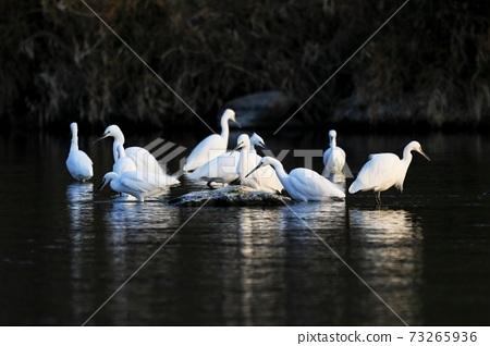 白鷺 野生鳥類 73265936