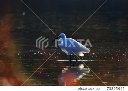 白鷺 野生鳥類 73265943