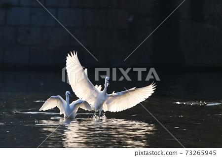 白鷺 野生鳥類 73265945