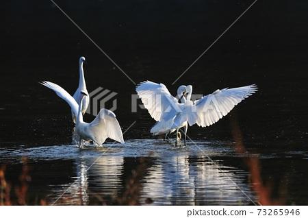 白鷺 野生鳥類 73265946