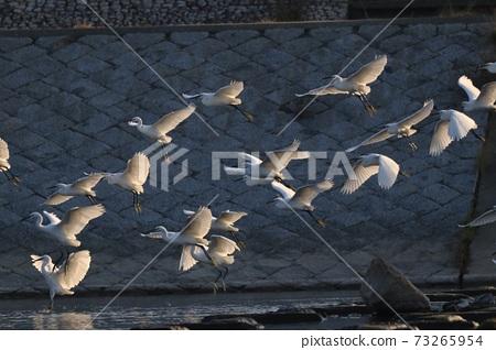 白鷺 野生鳥類 73265954