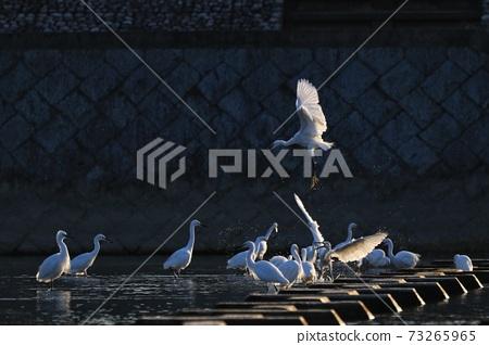 白鷺 野生鳥類 73265965