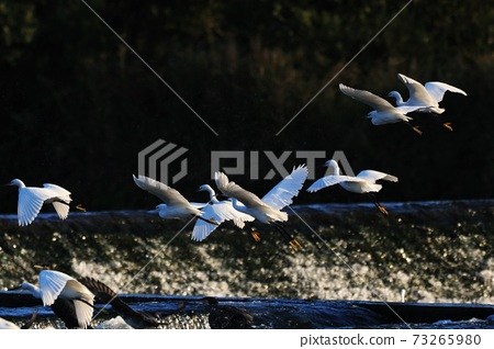 白鷺 野生鳥類 73265980