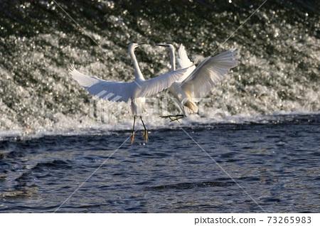 白鷺 野生鳥類 73265983