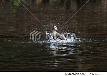 Waterfowl duck playing in water 73266292