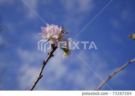 푸른 하늘에 피는 빨리 피는 벚꽃과 꿀을 빨아 곤충 73267204