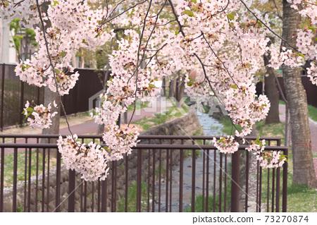 小河和櫻花盛開/北海道札幌 73270874