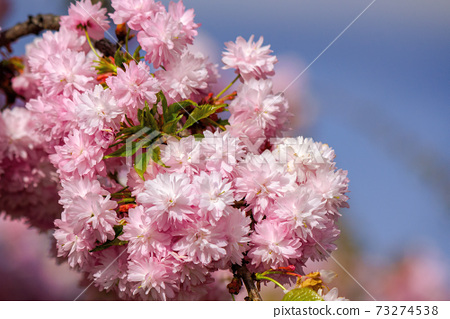 japanese cherry blossom on the branch. beautiful close up nature background in springtime on sunny day 73274538