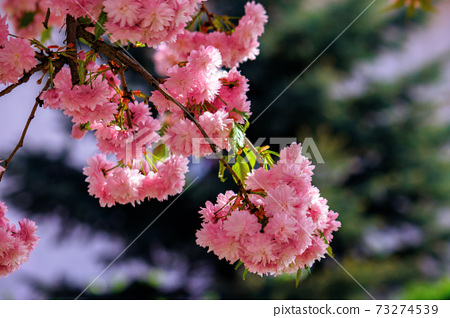 japanese cherry blossom on the branch. beautiful close up nature background in springtime on sunny day 73274539