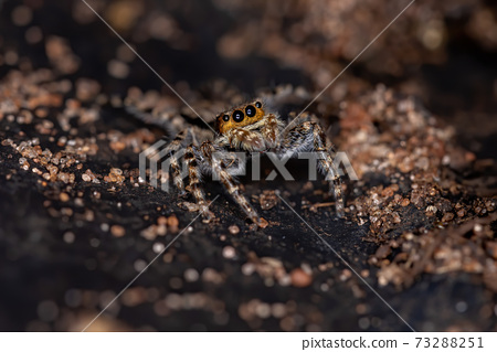Gray Wall Jumping Spider 73288251