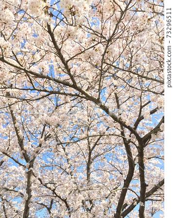 古樸的櫻木照片 73296511