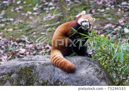 紅熊貓多摩動物園 73296583