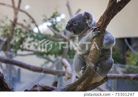 多摩動物公園考拉 73301297