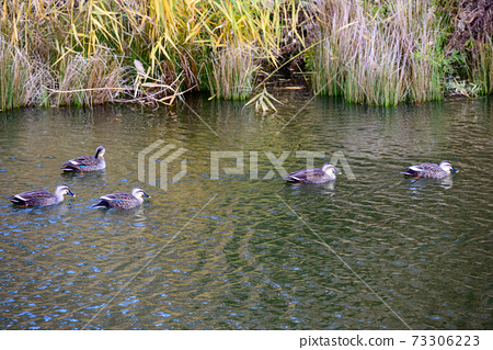Duck swimming in the pond 4 73306223
