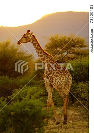 黃昏時分的長頸鹿角 73309483