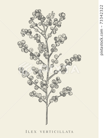 Ilex verticillata. Black and white. 73342322